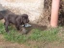 Prodám štěně ČF